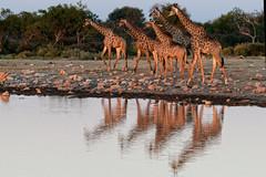 Giraffes in Etosha-1 (johnaalex) Tags: etosha namibia nikonafs80400f4556g d850 giraffe