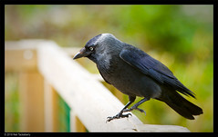 jackdaw (Neil Tackaberry) Tags: jackdaw crow corvusmonedula animal fauna will wildlife irish ireland bird ornithology birdwatchireland neil tackaberry neiltackaberry