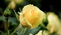 Rosa 'Sun Flare' (marysaesteban) Tags: 1982 2018 españa floribunda madrid may parquedeloeste rosa rosaledademadrid rose spain usa warriner mayo primavera spring 7dwf flora