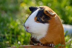 Lotta (vindelikus) Tags: meerschweinchen guineapig hausmeerschweinchen lotta