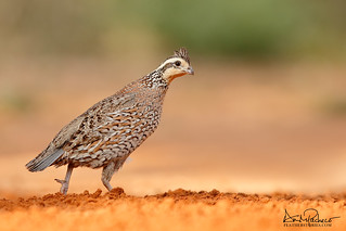 northern bob white female quail