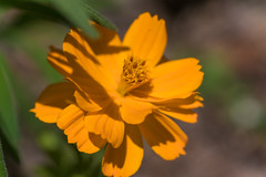 Cosmos (K2parn Photography) Tags: holderness newhampshire unitedstates us