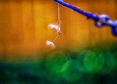 Hang in there! :)) (Natalia Medd) Tags: dandelion seeds rope summer bokeh color