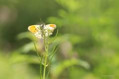 Oranje tipje (Manon van der Burg) Tags: hyper diezagjeoveral natuurfotografie bijdeburen sigma105mm canon80d macrophotography vlinder butterfly schmetterling germany duitsland