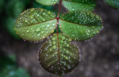 drops (kderricotte) Tags: macro hmm happymacromonday sony canon100mm28macro sonya7ii ilce7m2 leaves waterdrops flower plant outdoor