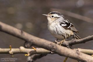 Paruline noir et blanc / Black-and-white Warbler