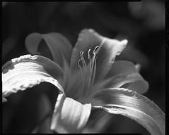 Hémérocalle (JJ_REY) Tags: hémérocalle hemerocalle fleur flower jardin garden film bw ilford fp4plus largeformat 4x5 rodinal toyofield 45a rodenstock sironarn 150mmf56 epson v800 colmar alsace france