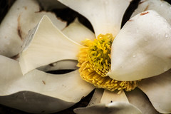 Blossomed (shuddabrudda) Tags: magnolia magnoliaflower white yellow pollen textured