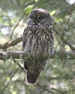 Sleepy Great Gray Owl, Strix nebulosa