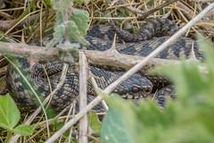 Small male Adder - Viper berus (Matchman Devon) Tags: south hams devon adder viper berus tobys path