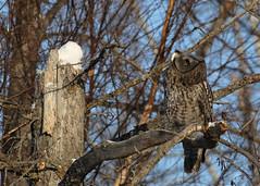 Great Gray Owl...#1 - look up way up... (Guy Lichter Photography - 3.9M views Thank you) Tags: owlgreatgray canon 5d3 canada manitoba hecla wildlife animal animals bird birds owl owls