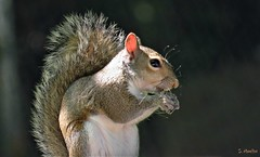Breakfast! (Suzanham) Tags: squirrel rodent bushy tail animal wildlife nature omnivores sciuridae mammal