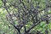 Dog Mountain Trail: Black tree overgrown with lichen (ogmueller) Tags: forrest usa washington northamerica nature photojournalism landscapes stockcategories places strange stevenson unitedstates