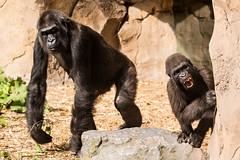 Wut im Bauch (Anja Anlauf) Tags: menschenaffe gorilla säugetier tier mutter kind flachlandgorilla