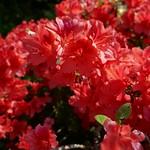 Au jardin, dernière azalée japonaise, Bosdarros, Béarn, Pyrénées Atlantiques, Aquitaine, France. thumbnail