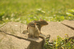 Two Babies (Doctor Beef) Tags: chipmunk chipmunks chippies