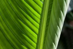 BALINESE SHADOWS (dayvmac) Tags: leaves plants abstract closeup shadows