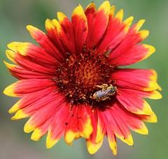 Gaillardia flower and busy bee. (Gillian Floyd Photography) Tags: red yellow gaillardia flower bee pollen