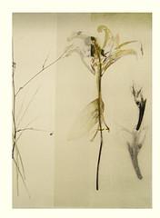 Lily (Japanese Flower and Bird Art) Tags: flower lily lilium liliaceae yo takahashi modern woodblock print japan japanese art readercollection