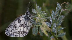 Elegance (lkiraly72) Tags: white elegance butterfly dew droplet nature summer dawn