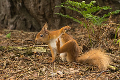 Red squirrel with an itch! (gillian.pullinger) Tags: redsquirrel sciurusvulgaris mammal rodent wildlife brownseaisland dorset uk