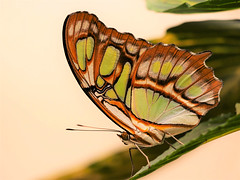 butterfly 6 (norbert.wegner) Tags: butterfly schmetterling malachitfalter siproetastelenes