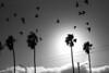 *** (Misha Sokolnikov) Tags: sanfrancisco ca sky sf california birds bird pigeon palmtree sun blackandwhite noiretblanc leica leicamonochrom leicamm leicamsystem leicacamera 50mm aposummicron
