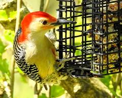 RBWoodpecker-001 (TerraPuella) Tags: red bellied woodpecker spring tennessee may bird