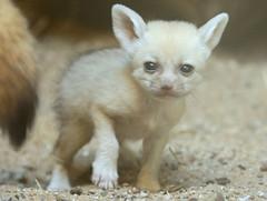 fennec artis BB2A0464 (j.a.kok) Tags: fox vos fennek fennec woestijnvos dessertfox artis animal africa afrika canine mammal zoogdier dier predator