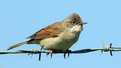 Whitethroat (NickWakeling) Tags: whitethroat norfolk canoneos7dmarkii sigma150600mmf563dgoshsmcontemporary norwichinternationalairport norwichairport barbedwire