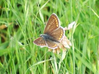 Aricia agestis Brown Argus