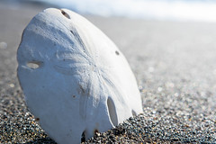 Toter Sanddollar auf dem Strand (marcoverch) Tags: sea creature beach dry beautiful sanddollar animal toter strand sand noperson keineperson nature natur water wasser seashore outdoors drausen meer travel reise summer sommer winter snow schnee ocean ozean stone stein h2o fairweather schöneswetter shore ufer rock ground boden zen eswar head fun transport fish second town bicycle 7dwf waves landschaft