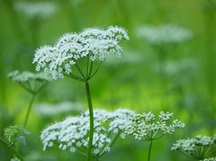 "7DWF ""Weeds"" (NaturewithMar) Tags: 7dwf crazytuesdays weed green queen la annes lace plant nature bokeh"
