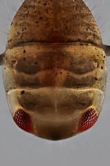 Plea minutissima nymph (?) (mr.sansibar) Tags: jansjö heteroptera aquatic arthropoda planapo insect nymph focusstacking olympusbh2 photomicrography microscopy heliconfocus larva polarizedlight notonecta waterboatman