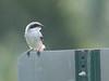 Loggerhead Shrike 01-20180612 (Kenneth Cole Schneider) Tags: florida miramar westmiramarwca