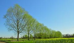 Willow trees, Aldermaston, Berkshire, England (Oswald Bertram) Tags: spring printemps primavera frühling saules weiden sauces