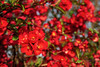 The red (blossom) Sea - Das rote (Blüten) Meer (ralfkai41) Tags: japanischezierquitte flowers plants blossoms bushes outdoor natur red garden chaenomelesjaponica pflanzen rot garten japanesequince nature sträucher blüten blumen