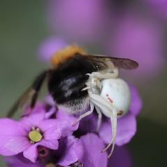 """""""Your butt is mine !"""" HBBBT (Kez West) Tags: spider prey bee whitecrabspider hbbbt flower arachnid macro insect summer june"""