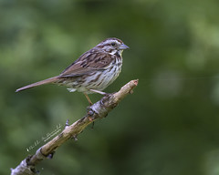 Song Sparrow (Bill McDonald 2016) Tags: sparrow song canada ontario june 2018 wwwtekfxca grenfellweeblycom billmcdonald perched perching spring wildlife photography canon