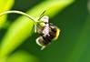 Naschen / Nibbling # 3 (schreibtnix on 'n off) Tags: deutschland germany bergischgladbach natur nature blüte blossom insekten insects bienen bees langhornbiene euceralongicornis nahaufnahme closeup detail naschen nibbling olympuse5 schreibtnix