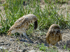 burrowing owls (Pattys-photos) Tags: burrowing owl vole pattypickett4748gmailcom pattypickett