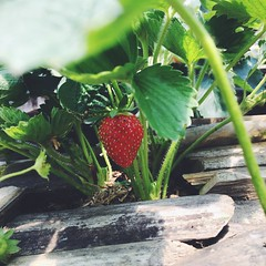 Trinidad Strawberry (remyaaay) Tags: fruit strawberry