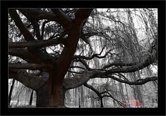 Le cèdre bleu pleureur de l'Atlas -3- (Jean-Louis DUMAS) Tags: cèdre arbre arboretum parc nature paysage landscape tree bois ciel forêt pelouse champ