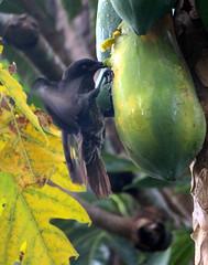 IMG_7612 (stevefenech) Tags: south pacific islands travel adventure stephen steve fenech fennock micronesia pohnpei kolonia birds