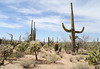 Saguaro Nat'l Park - Mountain District - 2018 (tonopah06) Tags: saguaronationalpark saguaro cactus cacti az arizona 2018 bajada landscape mountaindistrict westunit perspective infinity