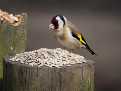 Nerves of...Gold (Céanndhubahn) Tags: redandyellow colours nervesofgold scotland goldfinch