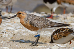 Brazil Tag H7C (tresed47) Tags: 2018 201805may 20180515njreedsbeachbirds aquatic birds canon7d capemay capemaynwr content crab folder horseshoecrab may newjersey peterscamera petersphotos places redknot reedsbeach season shorebirds spring takenby us