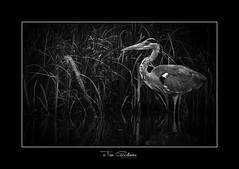 As still & silent as a post. (timgoodacre) Tags: heron greyheron bird wildbird water waterfowl waterbird watching waterdrops birds birdportrait blackwhite blackandwhite monochrome mono nature wildlife wildfowl wildanimal