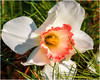 #Blooming #Daffodil in #Macro (~VKD~) Tags: flowerwatcher macrophotography igbestmacros brightnshine bright bloom blooming daffodil daffodils whitedaffodil white smithgilbertgarden canon7dmkii canonef100mm ef100mm