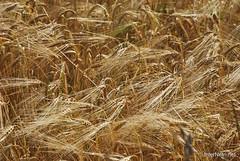 Пшениця, жито, овес InterNetri  Ukraine 025